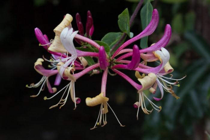 Lonicera 'Peaches & Cream'?
