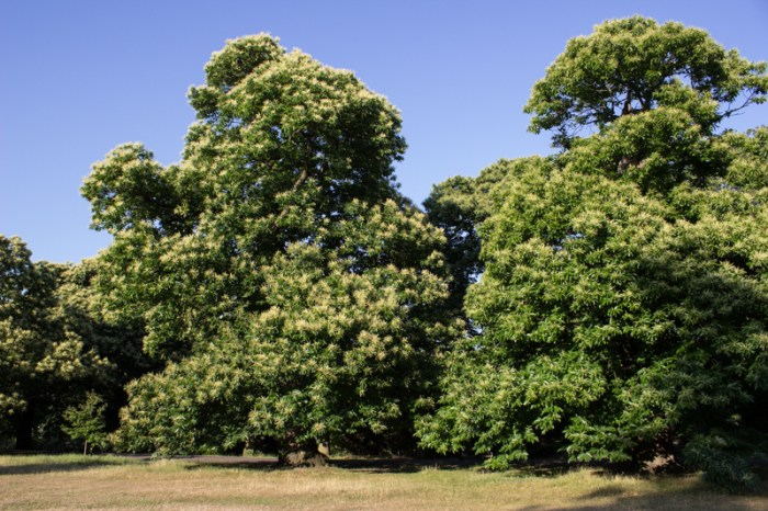Chestnut Trees in Greenwich Park
