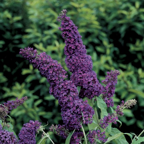 Buddleia 'Purple Emperor' (www.flowergardengirl.wordpress.com)