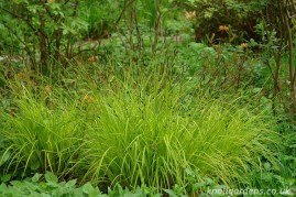 Carex elata Aurea (www.knollgardens.co.uk)