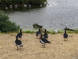 Red breasted geese, Pensthorpe