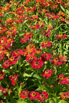 Heleniums at Hyde Hall