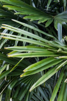 A palm of some kind