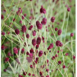 Sanguisorba 'Tanna' (www.crocus.co.uk)