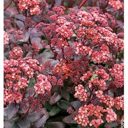 Sedum 'Purple Emperor' (www.telegraph.co.uk)