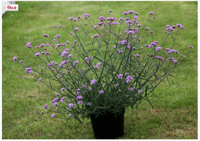Verbena Bonariensis 'Lollipop' (www.crocus.co.uk)