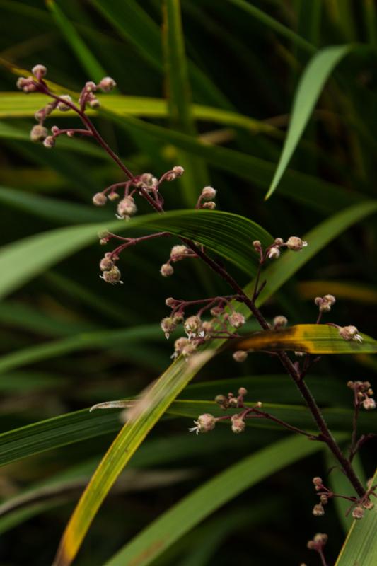 Heuchera & Pennisetum