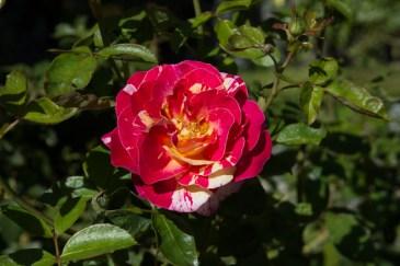 Roses in Stellenbosch Botanic Gardens