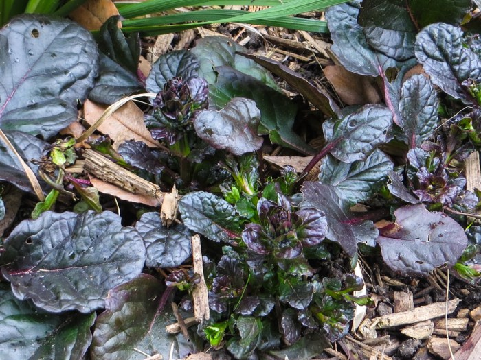 Ajuga in the Patio Bed