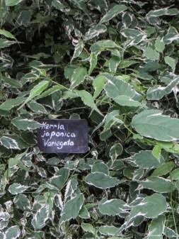Kerria Japonica Variegata in Bina Gardens East