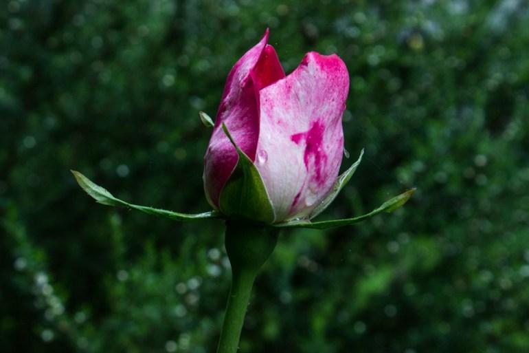 Rose bud in Gledhow Gardens