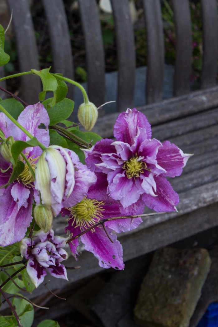 Clematis at Cable Street Community Gardens