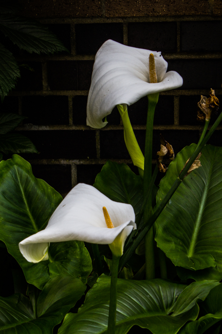 Arum Lilies at Winterton House