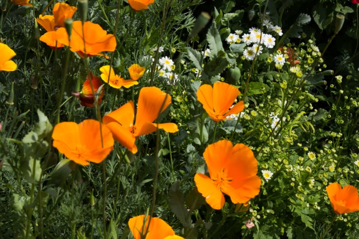 Californian poppies at Winterton House
