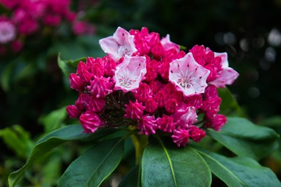 Kalmia Latifolia in Canary Wharf Roof Garden