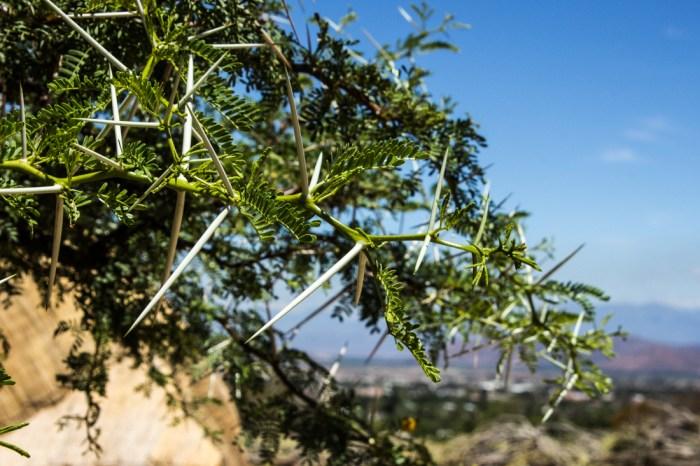 Sweet Thorn Tree, Karoo National Botanic Gardens, Worcester