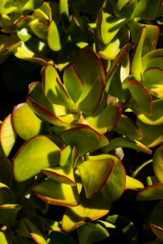 Spekboom in the Karoo National Botanical Gardens, Worcester