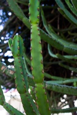 Euphorbia in Logan's garden, Matjiesfontein