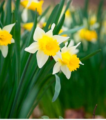 Narcissus 'Pseudonarcissus'