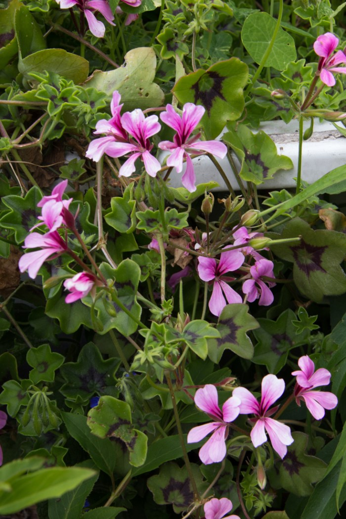 Geraniums in Cable Street Gardens