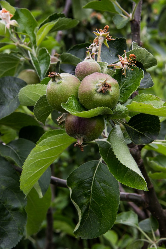 Apples at Cable Street Gardens