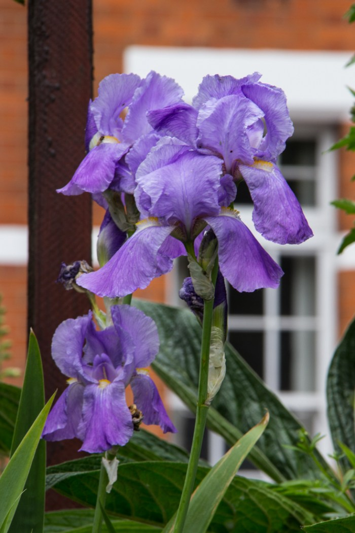 Irises in Cable Street Gardens
