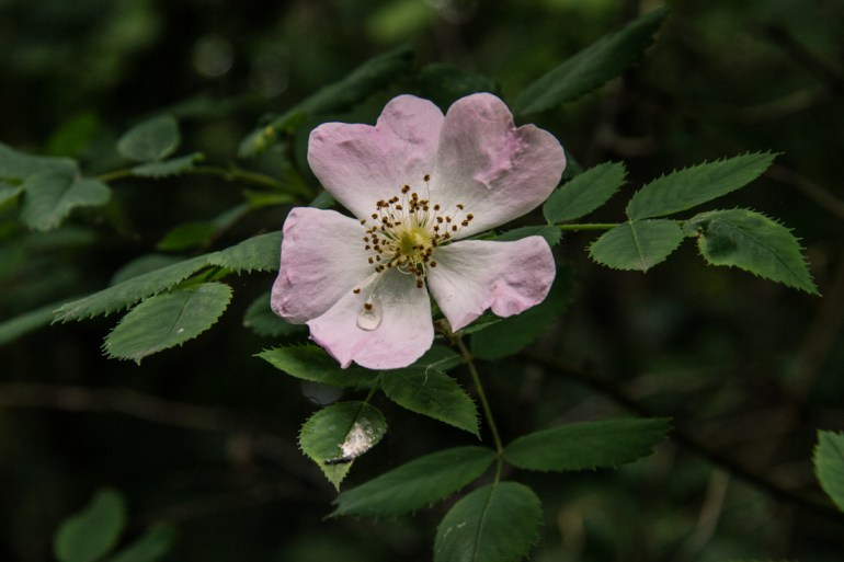 Dog roses in Stave Hill Ecology Park