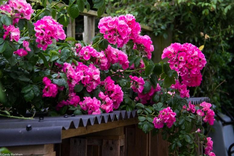 Roses at Monk Frith