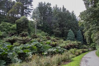 Gunneras in Botanical Gardens in Brest