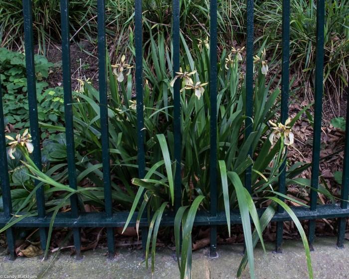 Iris Foetidissima 'Citrine' at Arnold Circus