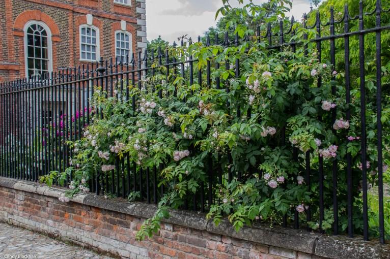 Pale pink rambling rose at Rainham Hall