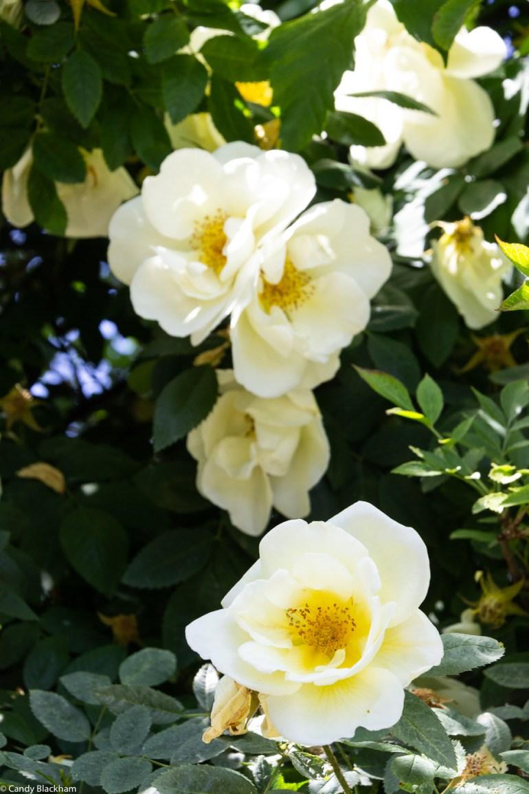 Roses in Upper Pepys Parks