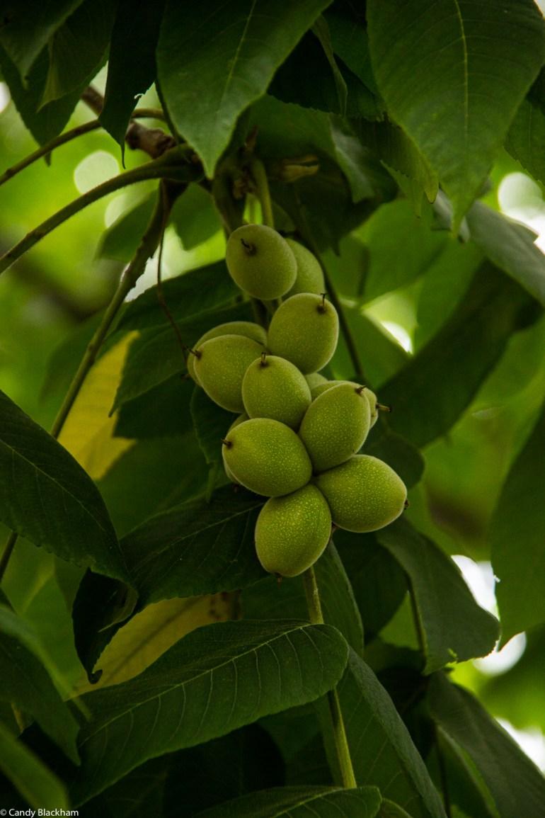 Walnut tree in Hatcham Gardens