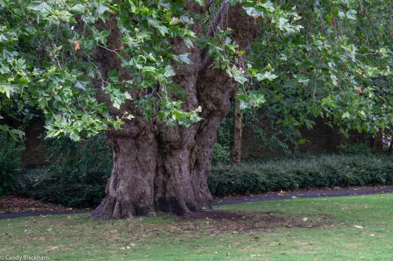 London Plane trees near the lake