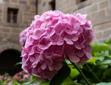 Hydrangea in the cloister of the Monastery