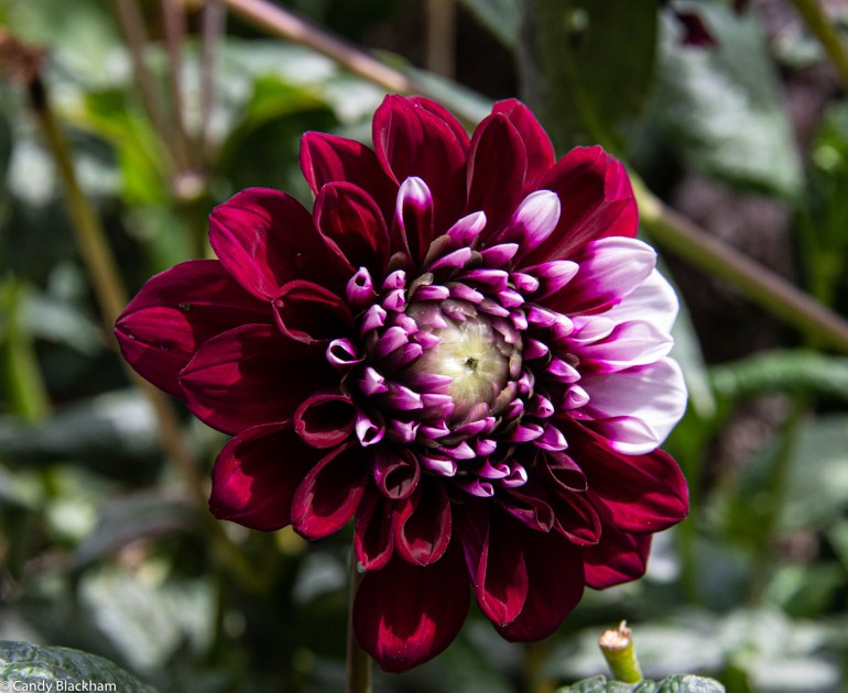 Variegated dahlia in the Picos de Europa
