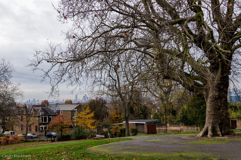 Old Plane Tree in Telegraph Hill Park in Lewisham