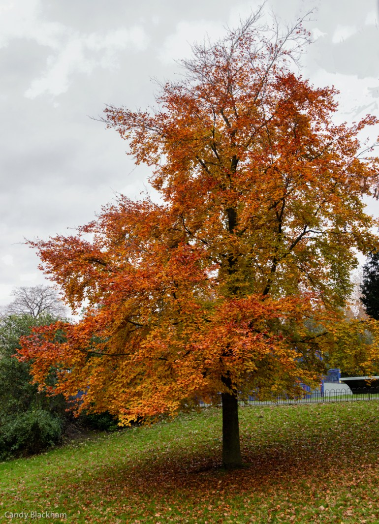Beech Tree in Telegraph Hill Park in Lewisham