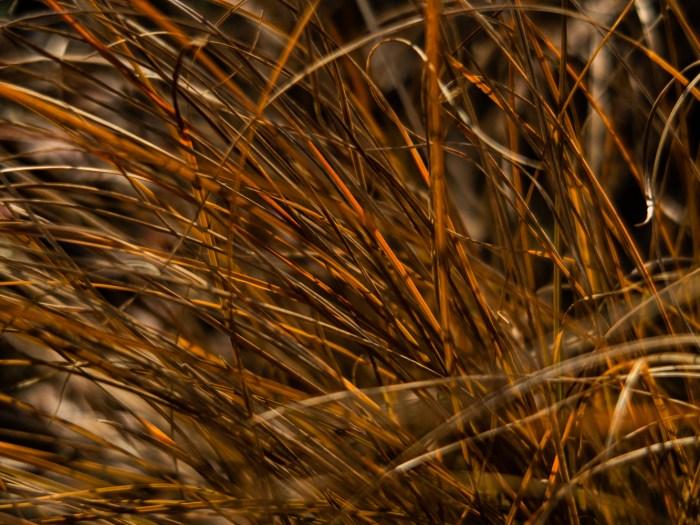 Carex in the sunshine
