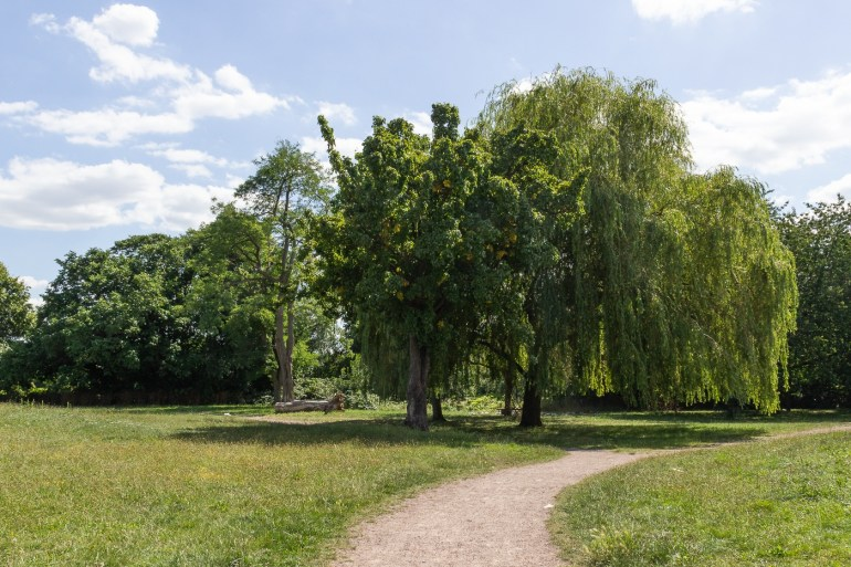 Willow trees in Downham Playing Fields