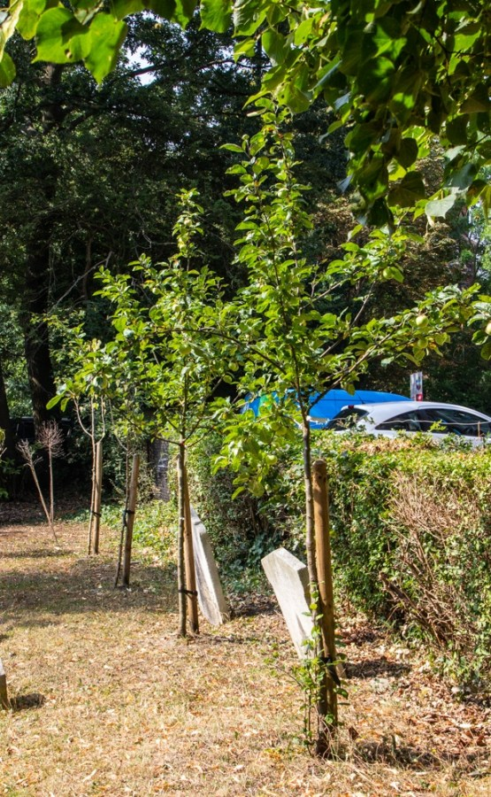 New fruit trees near the Lych gate