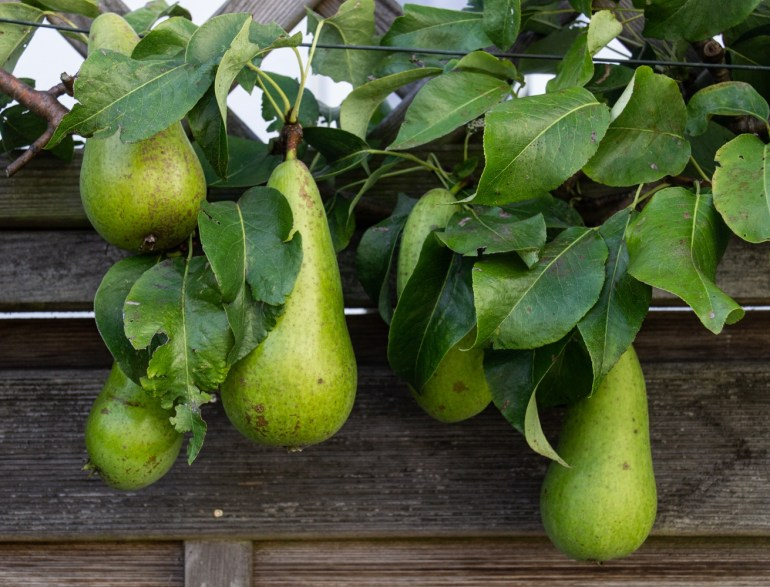 Conference pears in The Fortnight Garden