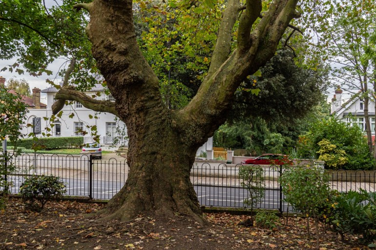 Plane tree in Ravensbourne Park in SE London