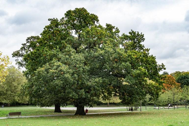 Old oak trees in the South Field in Ladywell Fields