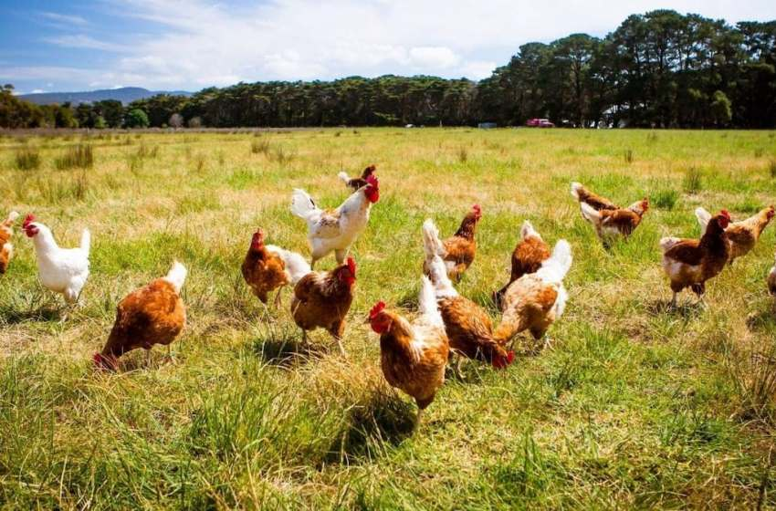 WOW !!! Man buys 1000 chickens online for N550 [SEE HOW]
