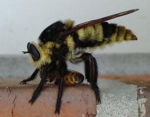 "The ""Florida bee killer,"" Mallophora bomboides (Wiedemann), with honey bee prey"