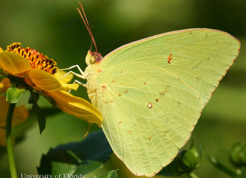 Lateral view of adult male cloudless sulphur, Phoebis sennae (Linnaeus), nectaring at smallfruit beggarticks, Bidens mitis.