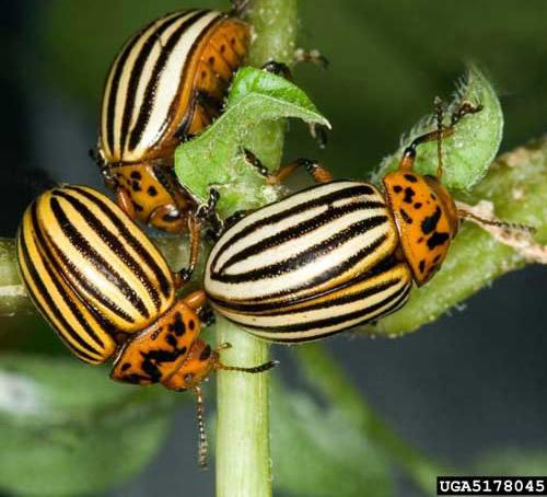 Image result for colorado potato beetle