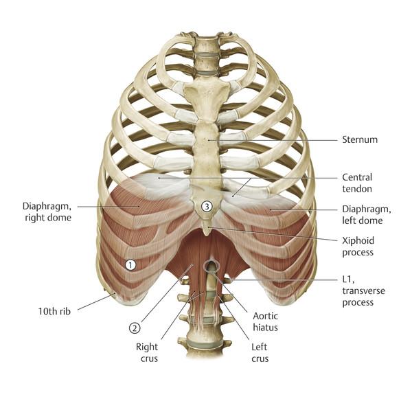 The diaphragm.