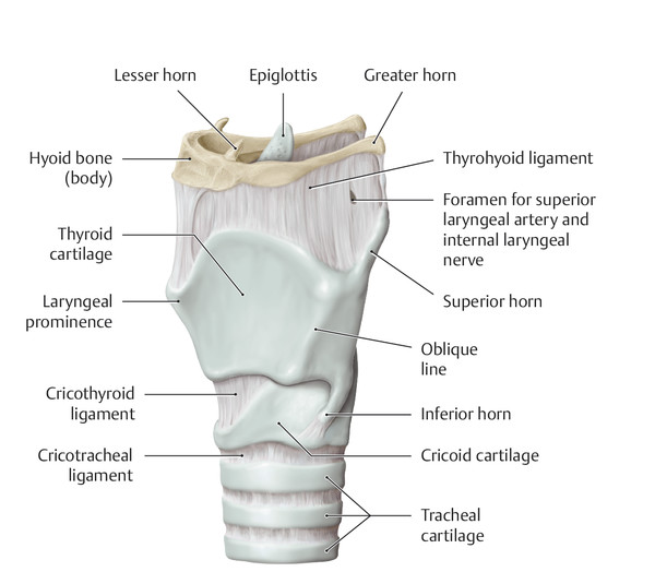 Laryngeal framework. Oblique left anterolateral view.